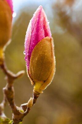 Cuadro Botón de flor de la magnolia rosada con las gotas de agua. Cerrar vista con desenfoque de fondo