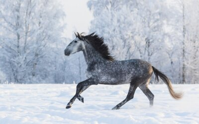 Cuadro Caballo de pura raza galopando a través de un prado cubierto de nieve de invierno