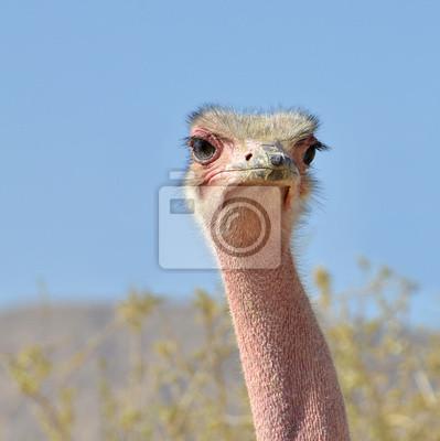 Cabeza de avestruz africano en la reserva natural, Israel