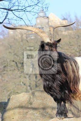 Cabra de cuello-Negro Walliser antes Sababurg
