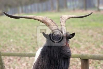 Cabra de cuello-Negro Walliser en el zoológico Sababurg