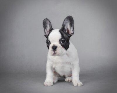Cuadro Cachorro de Bulldog francés