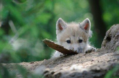 Cuadro cachorro de lobo