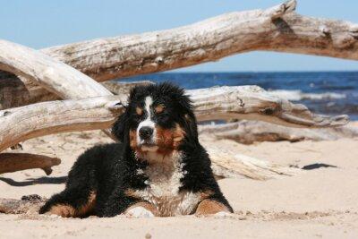 Cuadro Cachorro Sennenhund