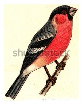 Cuadro Camachuelo, vintage ilustración grabada. De Deutch Birds of Europe Atlas.