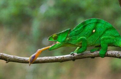 Cuadro Camaleón en el insecto de la caza. Camaleón de lengua larga. Madagascar. Una excelente ilustración. De cerca.