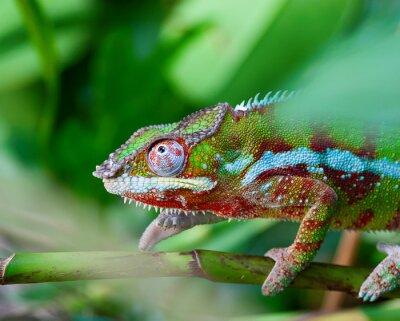 Cuadro Camaleón verde