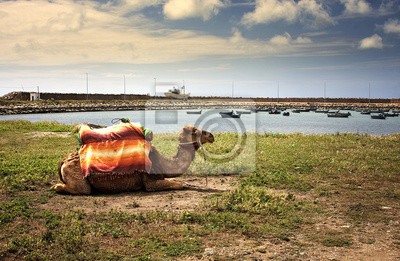 Cuadro camello en Marruecos
