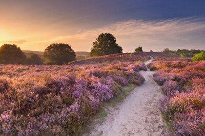 Camino a través de la floración de brezo en la salida del sol en los Países Bajos.