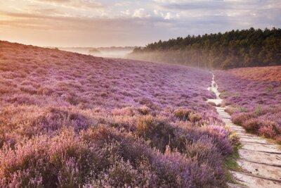 Camino a través de la floración de brezo en la salida del sol, Posbank, El Netherlan