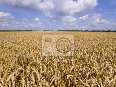 Campo con trigo dorado, maduro bajo un cielo medio nublado
