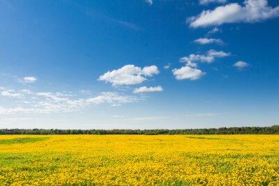 Cuadro Campo de dientes de león amarillo contra el cielo azul.