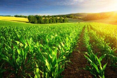 Cuadro Campo de maíz en el sol