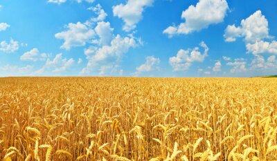 Cuadro Campo de trigo