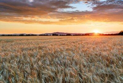 Cuadro Campo de trigo al atardecer