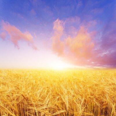 Cuadro Campo de trigo en día de verano en nueva zelanda