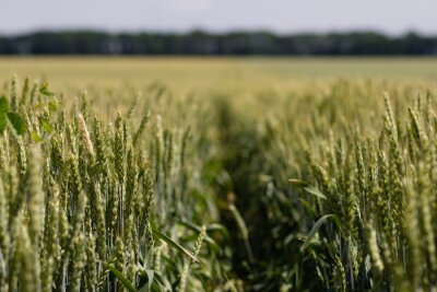 Cuadro Campo de trigo en un día de verano