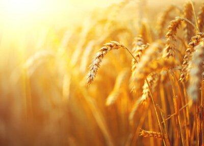 Cuadro Campo de trigo. Oídos del primer del trigo de oro. Paisaje rural bajo la luz del sol brillante