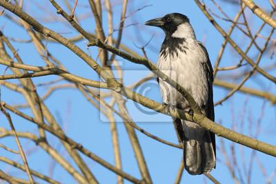 Capucha Crow - Corvus cornix