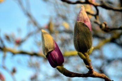 Cuadro capullos de magnolia