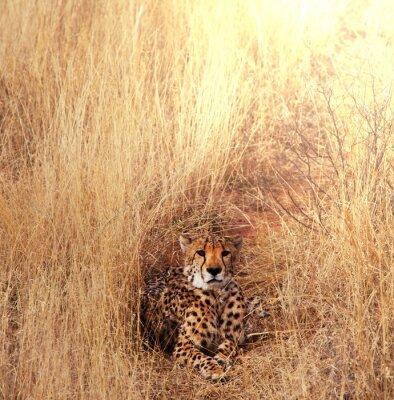 Cuadro Cheetah