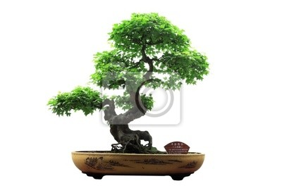 Cuadro Chino árbol bonsai verdes aisladas sobre fondo blanco.
