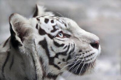 Cuadro Cierre de retrato de un tigre de bengala blanco. El animal más hermoso y la bestia más peligrosa del mundo. Este raptor severo es una perla de la fauna. Retrato de la cara del animal.