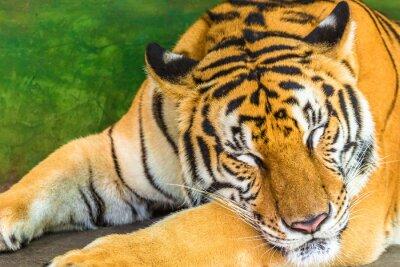 Cuadro Ciérrese para arriba de un tigre grande que duerme en al aire libre, Tailandia, Asia.