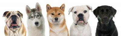 Cuadro Cinco perros de pura raza