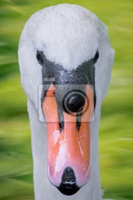 Cisne mudo (Cygnus olor)