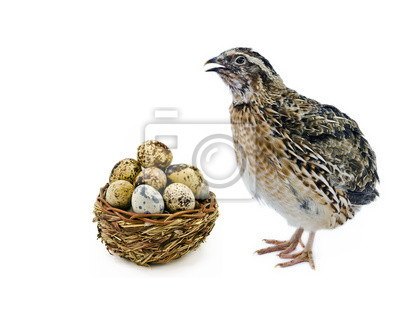 Codorniz con huevos aislados sobre fondo blanco