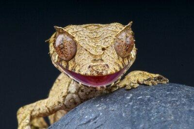 Cuadro Cola-Leaf phantasticus gecko / Uroplatus
