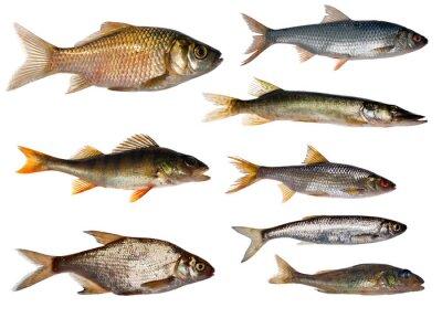 colección de ocho peces de agua dulce