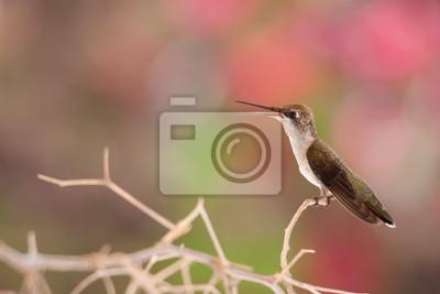 Colibrí joven en la rama