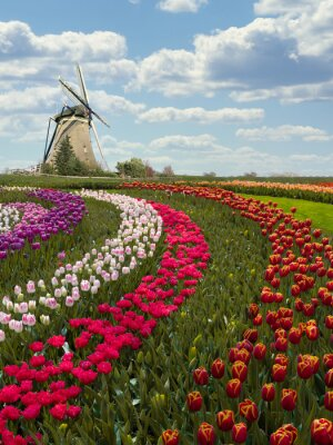 Colorful Dutch tulip farm nested to a majestic windmill under a sunny spring weather