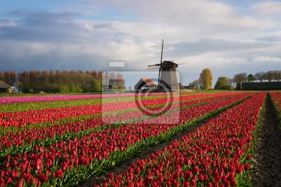 Coloridas filas de tulipanes en frente de un molino de viento