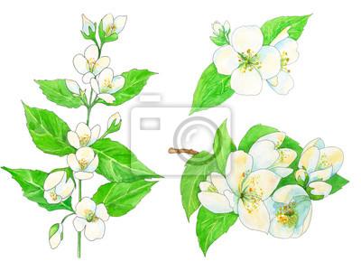 Conjunto de jazmín, flores blancas y hojas verdes con contorno ...