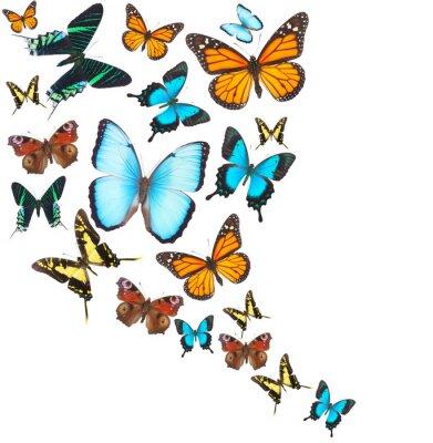 Cuadro Conjunto de mariposas tropicales