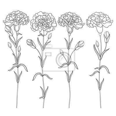 Conjunto de vectores con contorno clavel o flor de clavo, brote ...