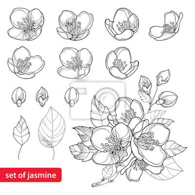 Conjunto de vectores con el esquema flores de jazmín, yema y ...