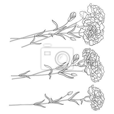 Conjunto de vectores con esbozo clavel. flor, yema y hojas en ...