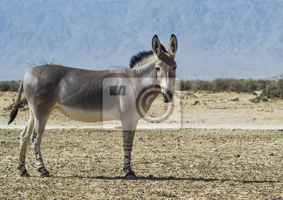 Culo somalí (Equus africanus) en la reserva natural cerca de Eilat