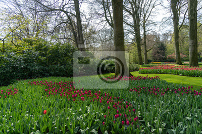 Deep purple color tulips blossom blooming under a very well maintained garden in spring time