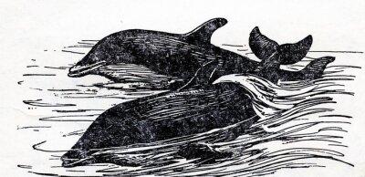 Cuadro Delfín mular (Tursiops truncatus)
