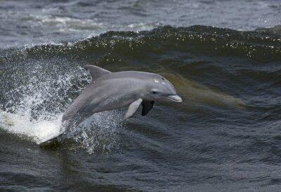 Cuadro Delfín nariz de botella (Tursiops trunca)