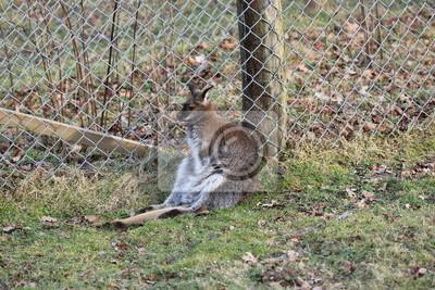 Descansar Bennett canguro en zoológico Sababurg