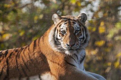 Cuadro Descansar tigre indio