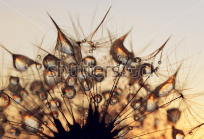Cuadro Descensos de rocío en las semillas de un servido de león del cierre la salida del sol para arriba.