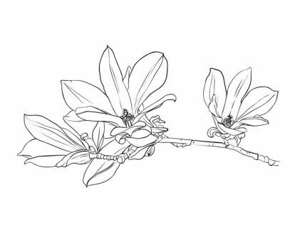 Cuadro Dibujado a mano flores de magnolia.