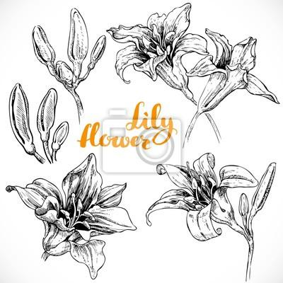 Dibujo Flores De Lis Y Los Brotes De Tinta Sobre Papel Blanco